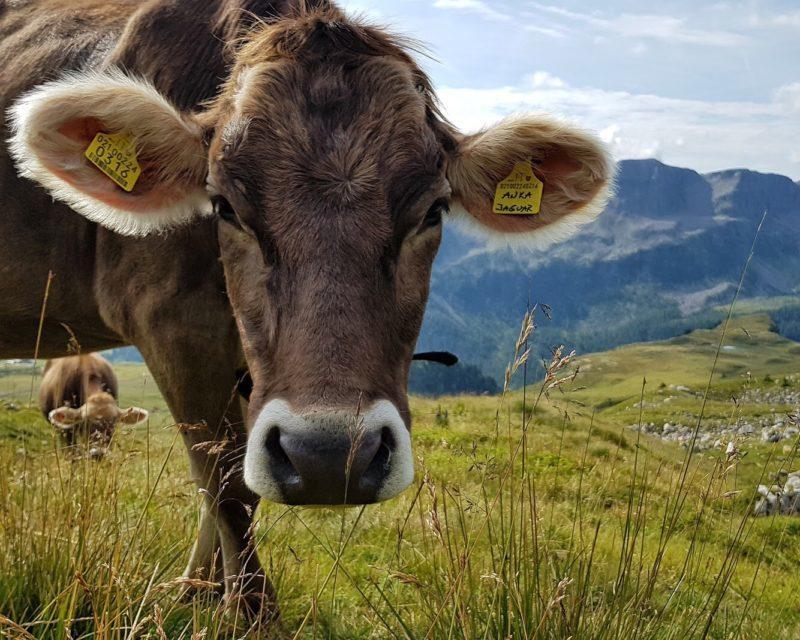 Mucca in Alpeggio